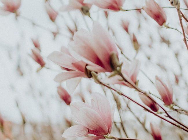 Petale de magnolie